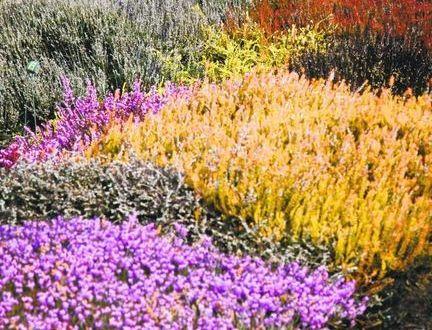 S anglickým vřesovištěm neztratí podzimní zahrada svoje kouzlo