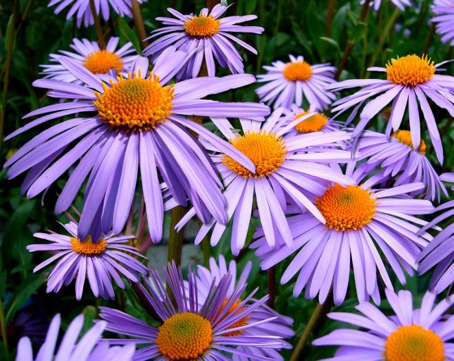 astry na na zahradě