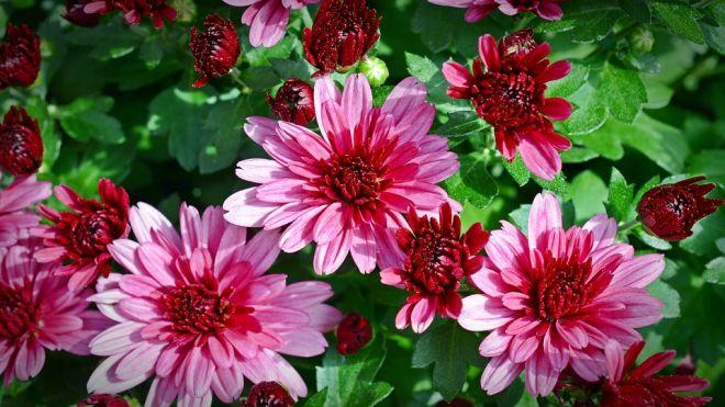 podzim chryzantémy zahrada