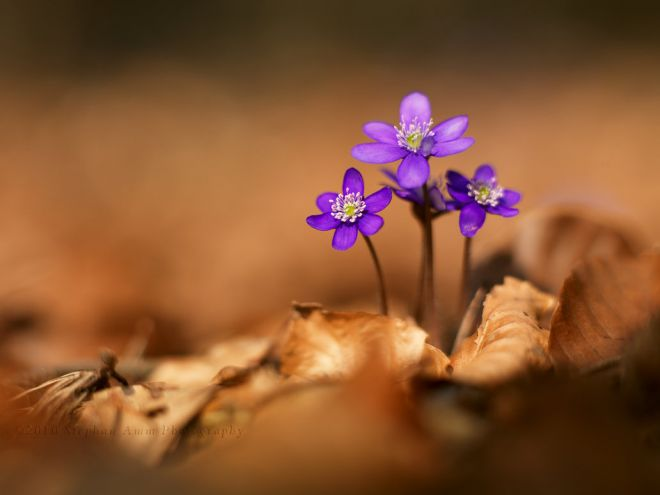 Jaterník podléška kvetoucí