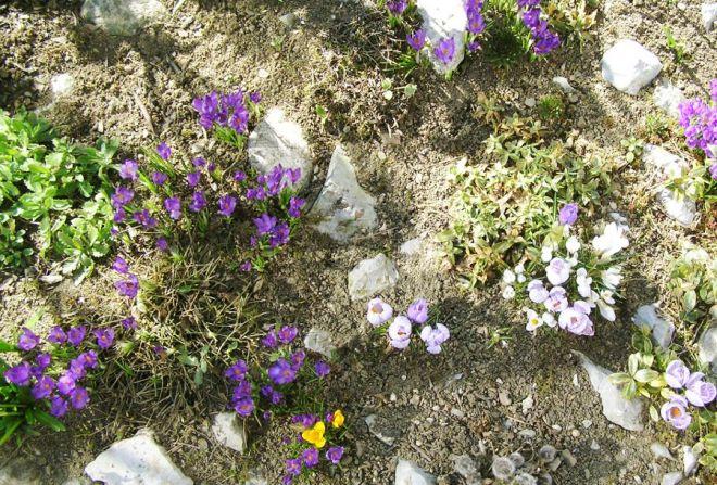 jarní květiny skalka zahrada