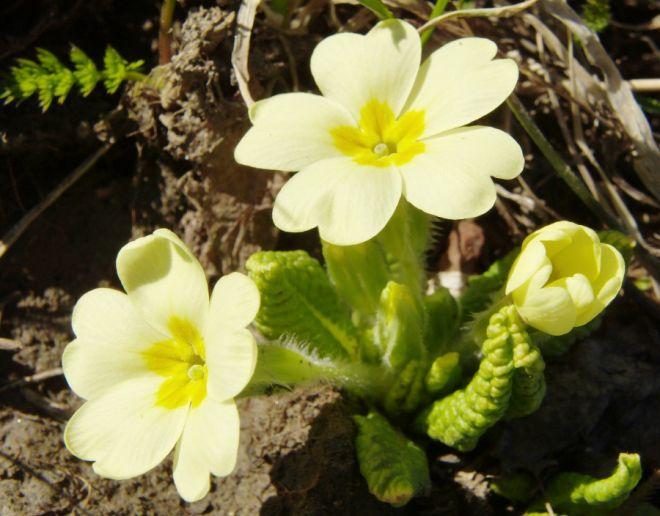 prvosenka jarní květiny zahrada